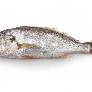 Peixe Corvina