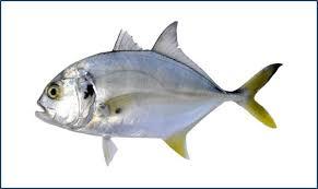 Peixe Xereu